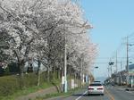 通学路にあった桜並木