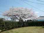 クラブハウス裏の桜
